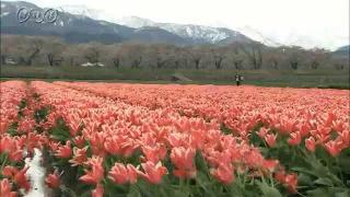 サムネイル画像:朝日町舟川べり 北アルプス・桜・チューリップの競演