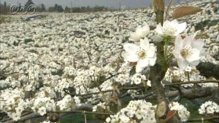 サムネイル画像:富山の名産 呉羽梨の花