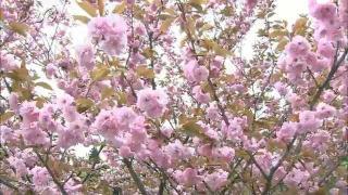 サムネイル画像:立山町 森林研究所の八重桜