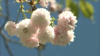 サムネイル画像:剱折戸菊桜(つるぎおりときくざくら)