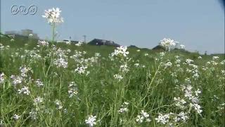 サムネイル画像:神通川沿いのハマダイコンの花