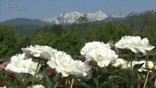 サムネイル画像:富山県薬用植物指導センターのシャクヤク園