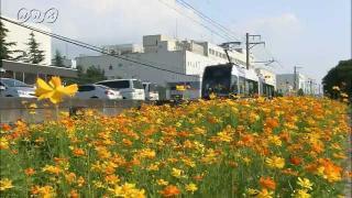 サムネイル画像:富山ライトレール 駅周辺を彩るキバナコスモス