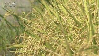 サムネイル画像:富山市 「てんたかく」の収穫が始まる