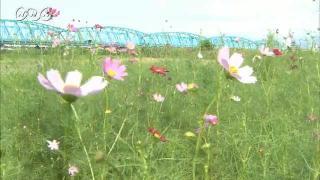 サムネイル画像:富山市神通川沿いのコスモス